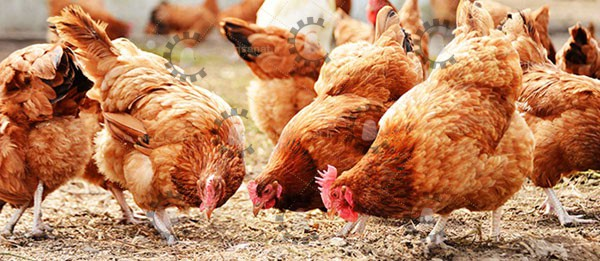 قیمت دان آماده مرغ گوشتی